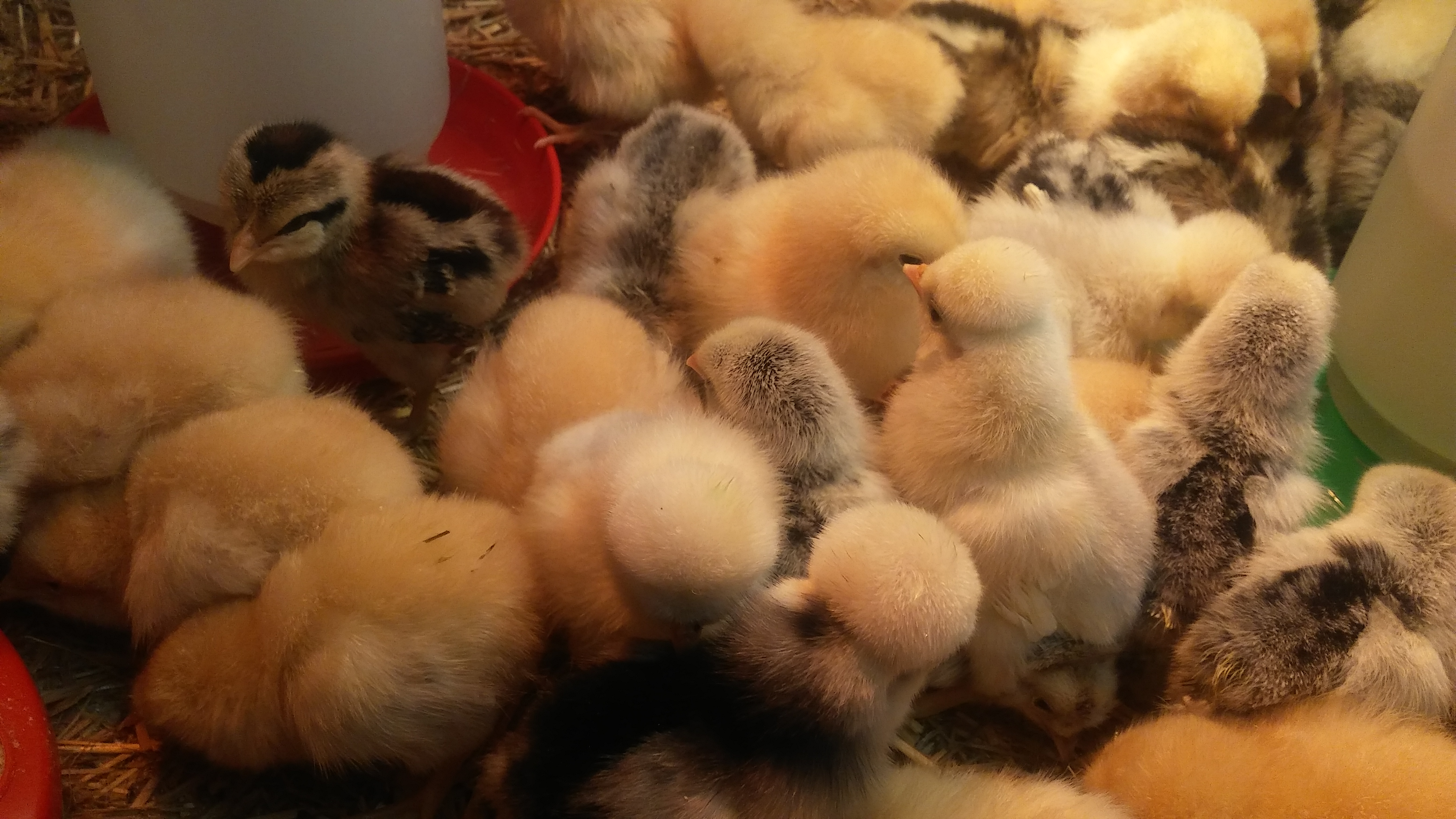 CHICK SEASON- SPECIAL ORDERS WELCOMED!